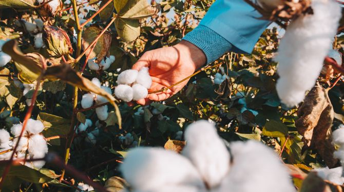 Egyptian cotton being picked by hand